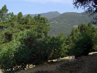 Figs tree in Montseny 23-June-2005