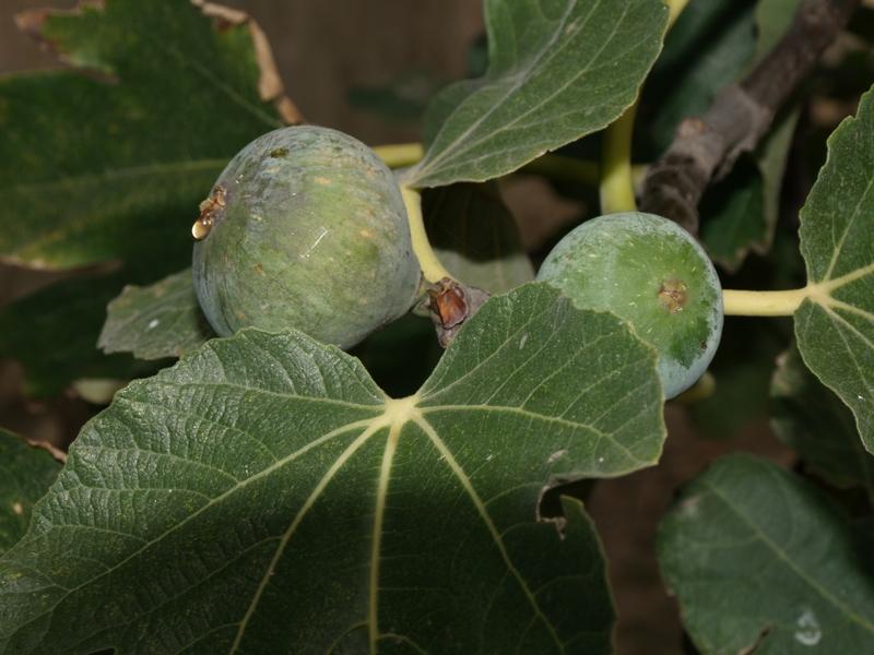 de la varicoza fig)